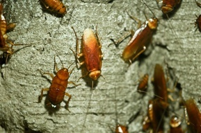 cockroach infestation in brisbane