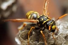 wasps pest control brisbane