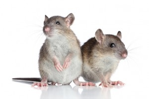 best mice control brisbane
