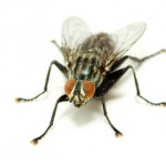 fly pest control brisbane