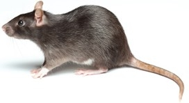 rodents and mice control services