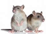 commercial pest control services for rodents